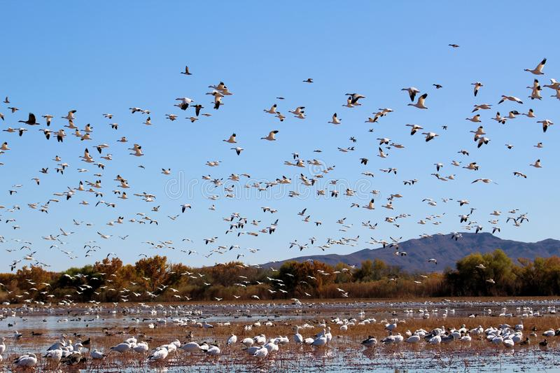 Snow Geese in Mass Flight. A flock of Snow Geese gathered at their winter home at Bosque del Apache Wildlife Refuge, New Mexico royalty free stock photos