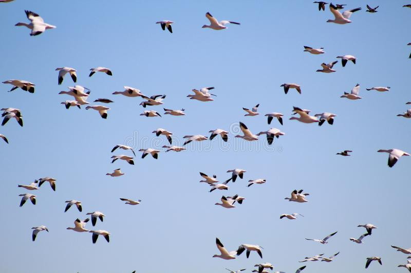 Flock of Snow Geese in Mass Flight stock photos