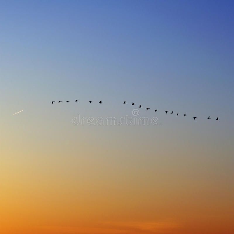 flock of snow geese and plane stock images