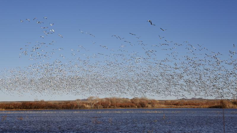 Flock of Snow Geese taking flight from a pond in winter royalty free stock photos