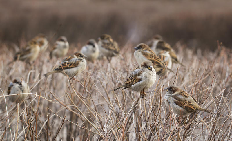 Flock of sparrow birds stock images