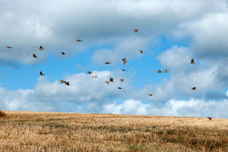 Flock of sparrows. Scenic view of flock of sparrows flying over field in countryside stock image