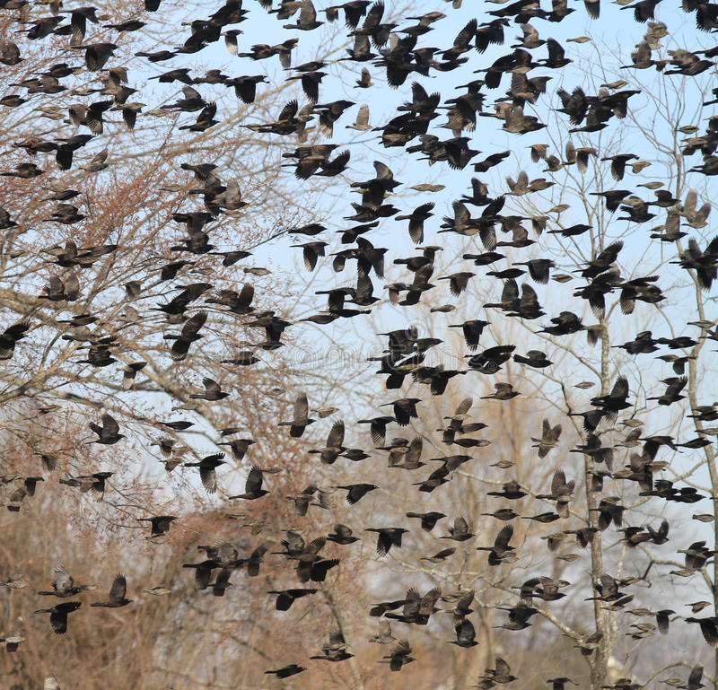 Flock of Spring birds in flight against a blue sky and trees. Large number of wild black and brown birds flocking in spring migration stock photo
