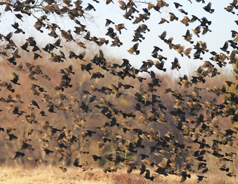 Flock of Spring birds in flight. Large number of wild black and brown birds flocking in spring migration stock photos