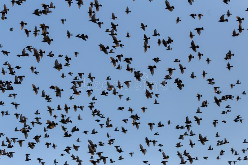 Flock of starling flying together on sky.  royalty free stock photography