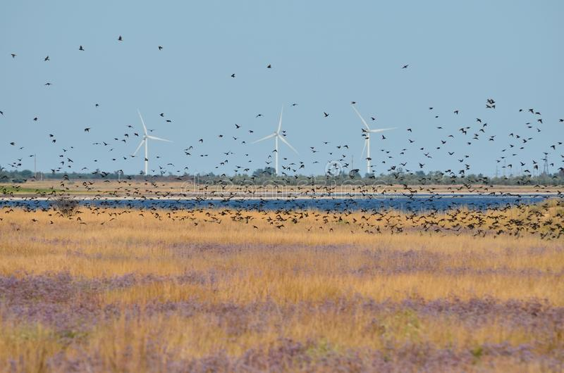 Flock of Starlings. A flock of starlings. Kherson region, Ukraine stock photos