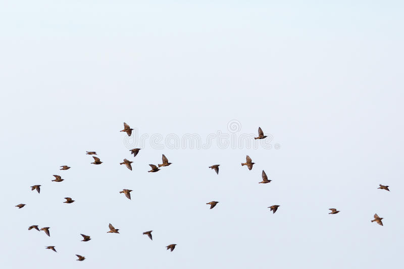Flock of starlings. Flying in the sky royalty free stock images