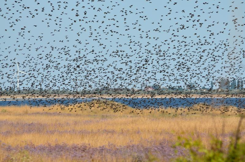 A flock of starlings flying in the sky. Kherson region, Ukraine stock photo