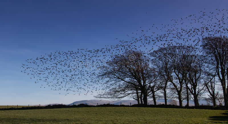 Starlings. A flock of starlings near Beaumaris Isle of Anglesey stock photos