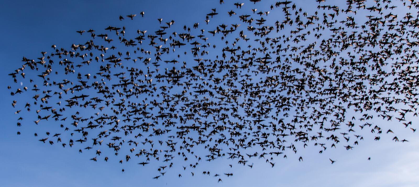 Starlings. A flock of starlings near Beaumaris Isle of Anglesey royalty free stock image