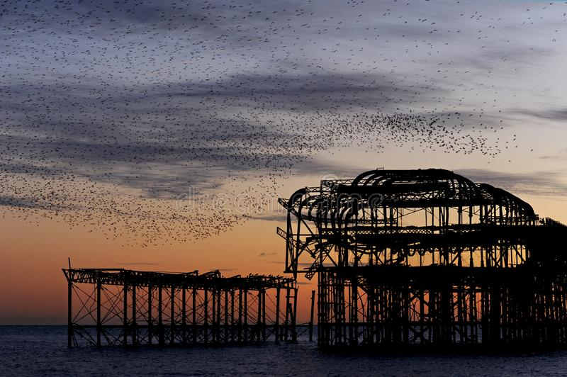 Murmuration over the ruins of Brighton`s West Pier on the south coast of England. A flock starlings perform aerial acrobatics over Brighton`s West Pier at sunset stock images