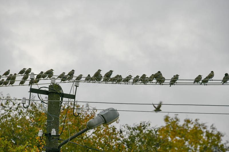 A flock of starlings sits on a wire. Bird migration stock image