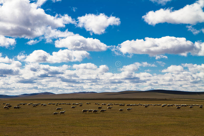 Flock in the sun. A flock of sheep in the sun, at Inner Mongolia of China royalty free stock photo