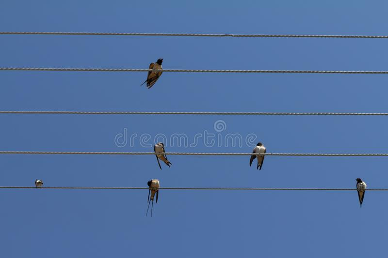 Flock of swallows on blue sky background. Many swallows sitting on the wires against blue sky background Barn swallow Hirundo rustica stock photos