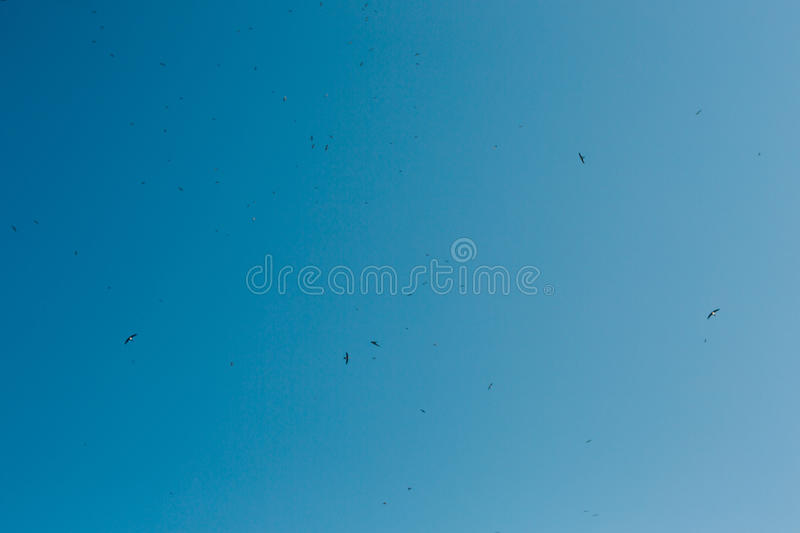 A flock of swallows flying in the blue sky stock photos