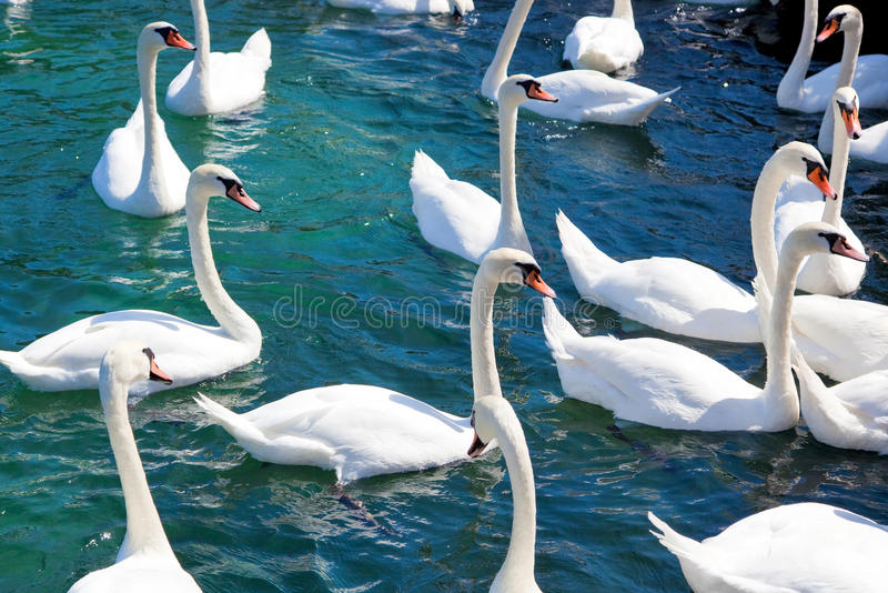 Download Flock of swans stock photo. Image of flock, river, blue - 14228082