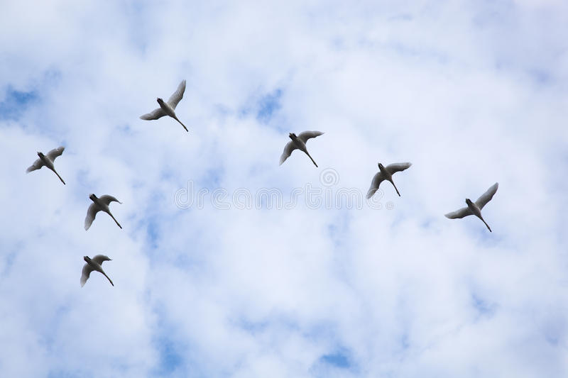 Download Flock of swans stock photo. Image of flying, wildlife - 19861750