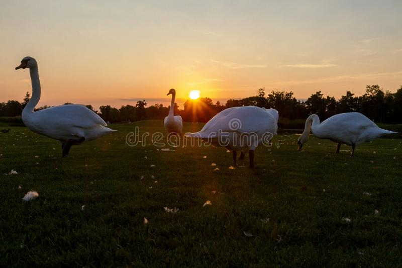 Flock of swans at sunset stands on the lawn. Breath of autumn royalty free stock photo