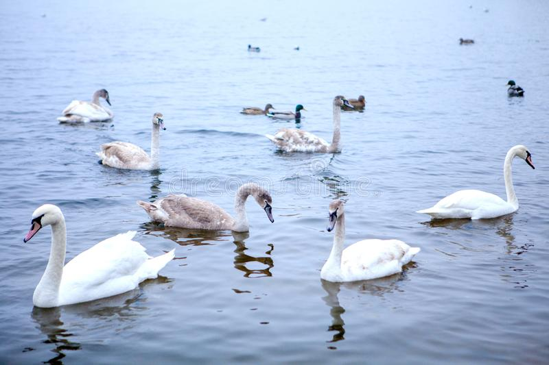 A flock of swans swims on the river stock image