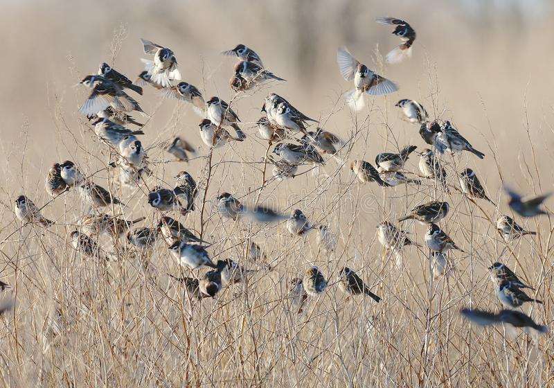 A flock of tree sparrows. Is sitting on the dry grass stock photo
