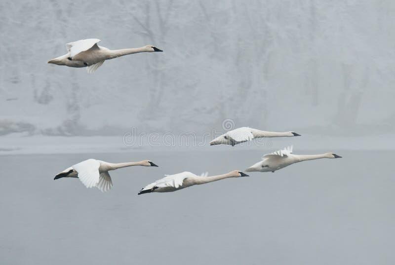 Download Flock Of Trumpeter Swans Flies Over River Stock Photo - Image: 14633156