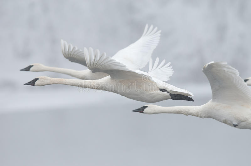 Download Flock Of Trumpeter Swans Fly Past Stock Photo - Image: 13441110