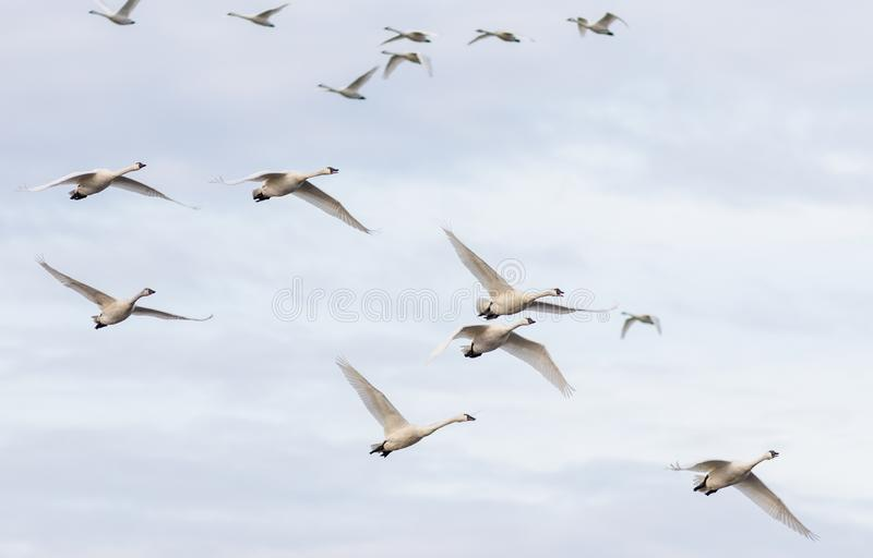 A flock of Tundra Swans in midair. A group of Tundra Swan Cygnus columbianus fly overhead at the Pungo Unit of Pocosin Lakes National Wildlife Refuge in North stock images