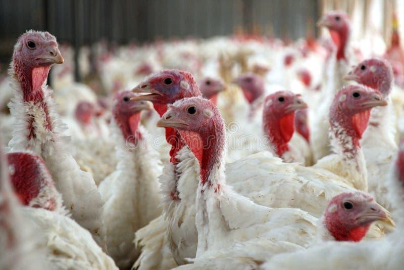 Flock of Turkeys. In the farm
