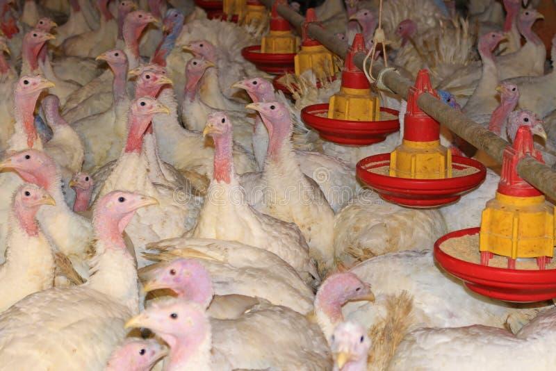 Flock of turkeys stock photo