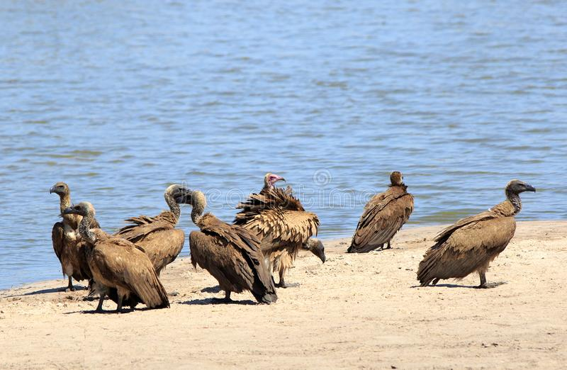 Flock of Vultures standing on the dry sandy ground at the edge of a waterhole. Group of various species of vultures congregate at the edge of a small waterhole stock photography