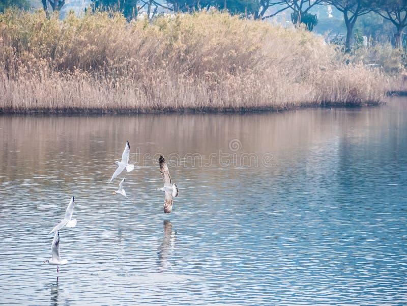 Flock of white birds fly on the lake stock image