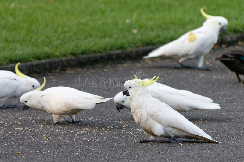 A flock of white cockatoos royalty free stock images