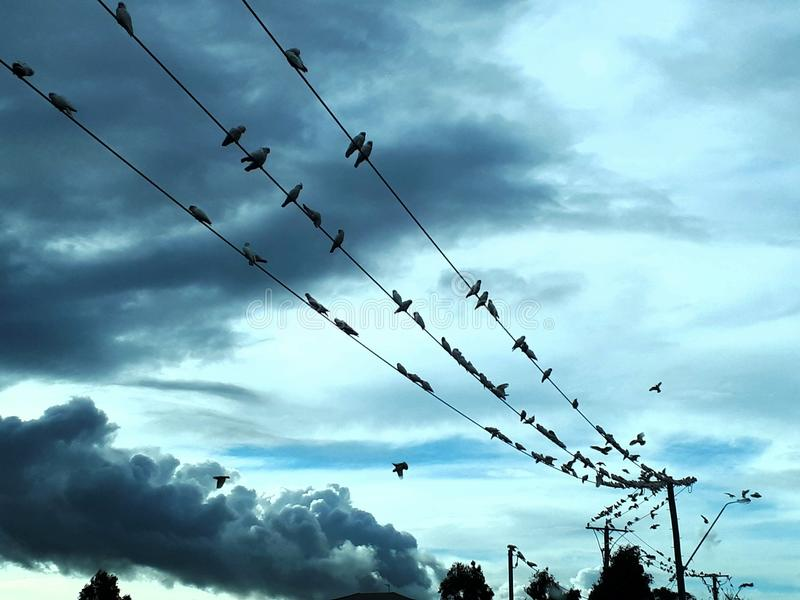 Flock of White corella cockatoos on telegraph electricity wires against stormy cloudy sky royalty free stock photography