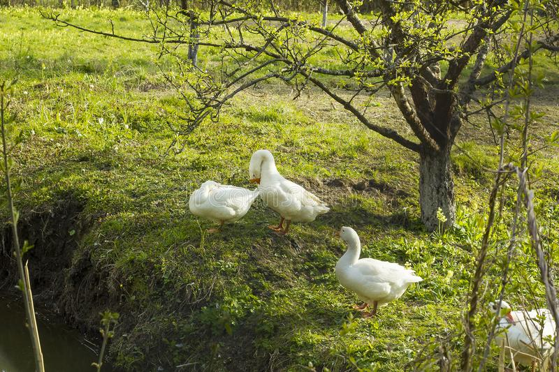 Flock of white geese grazing on grass near pond stock photo