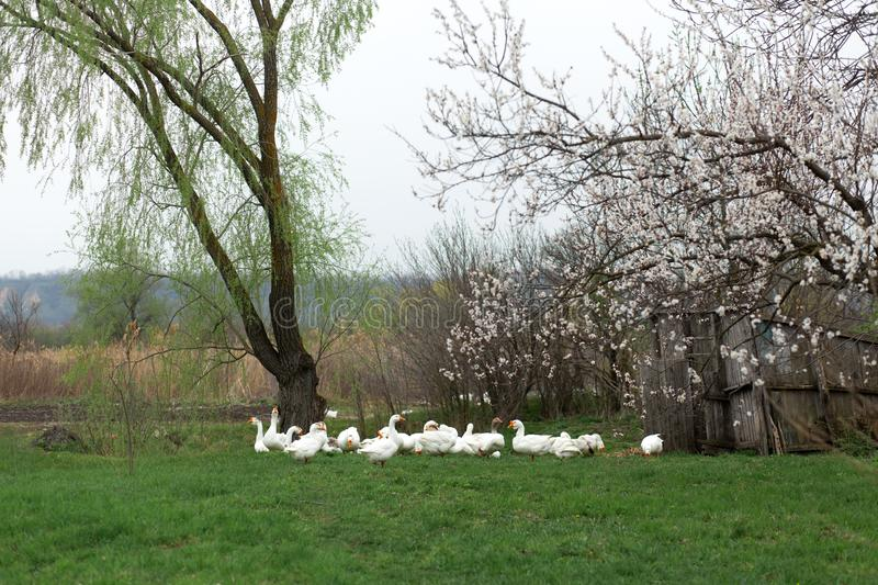 A flock of white geese walk in the spring in the village on the lawn with fresh green grass against the background of a flowering royalty free stock images