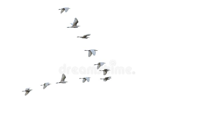 Flock of white herons flying in V-formation. Birds in flight. Isolated on white background. Blurred in motion royalty free stock photo