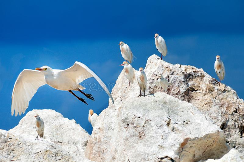 A flock of white herons sitting on stones during the mating period stock photography