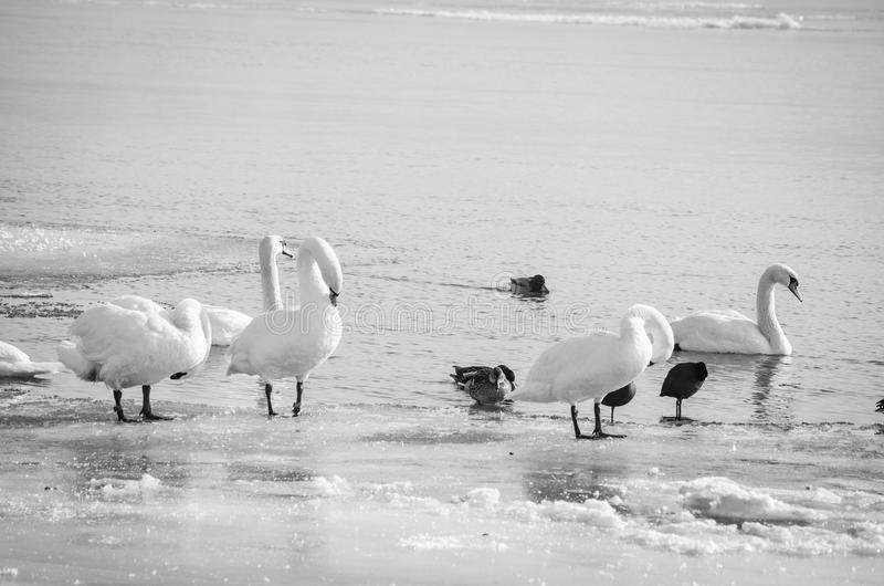 Flock of white mute swans in the beach covered by snow nature winter image.  royalty free stock photography
