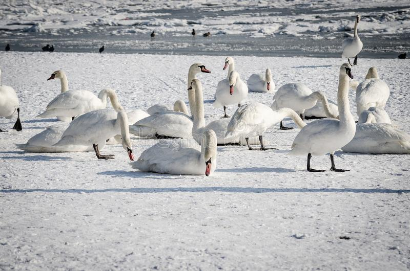Flock of white mute swans in the beach covered by snow nature winter image.  stock photography