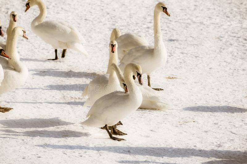 Flock of white mute swans in the beach covered by snow nature winter image.  stock photo