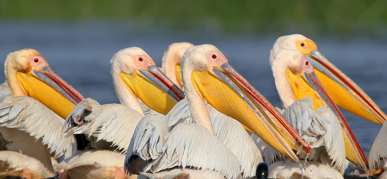 A flock of white pelicans collectively hunts in the waters of the Danube. Birds gather in a dense flock and chase fish in shallow water royalty free stock images