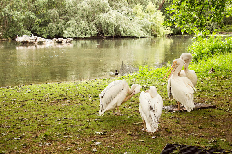 Flock of white pelicans royalty free stock photography