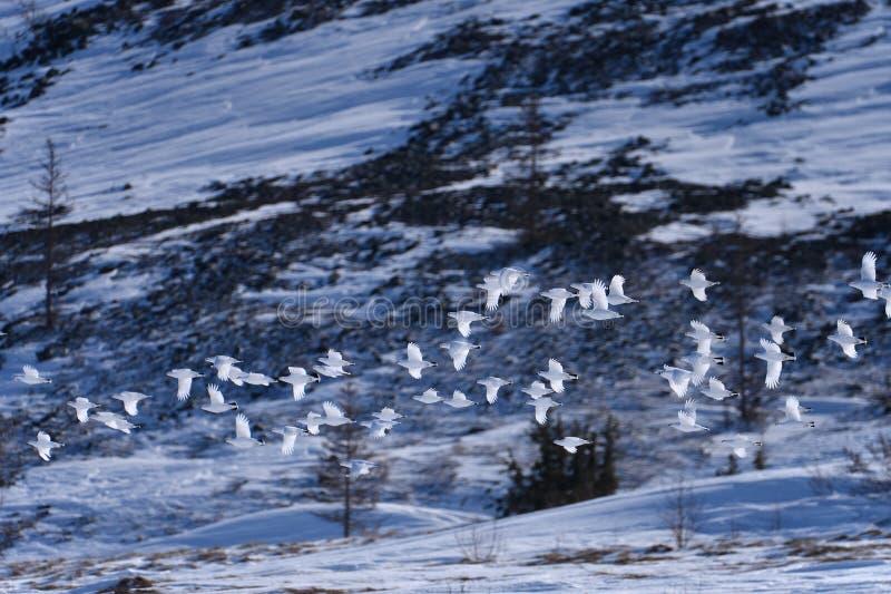 Flock of wild ptarmigan. Flock of white ptarmigan fly over tundra at the early spring season, Polar Ural royalty free stock photos