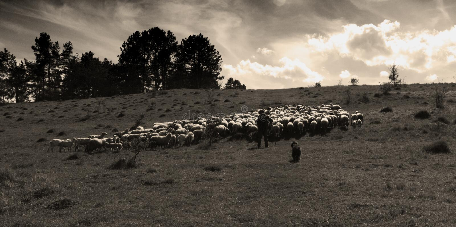Flock of white sheep grazing in a meadow on a sunny day, sepia. stock photo
