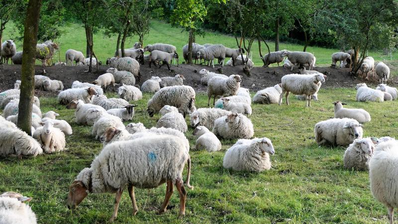 Flock of sheep royalty free stock images