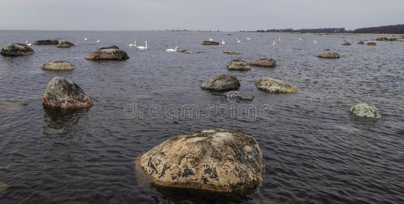 Flock of White Swans on Body of Water stock photo