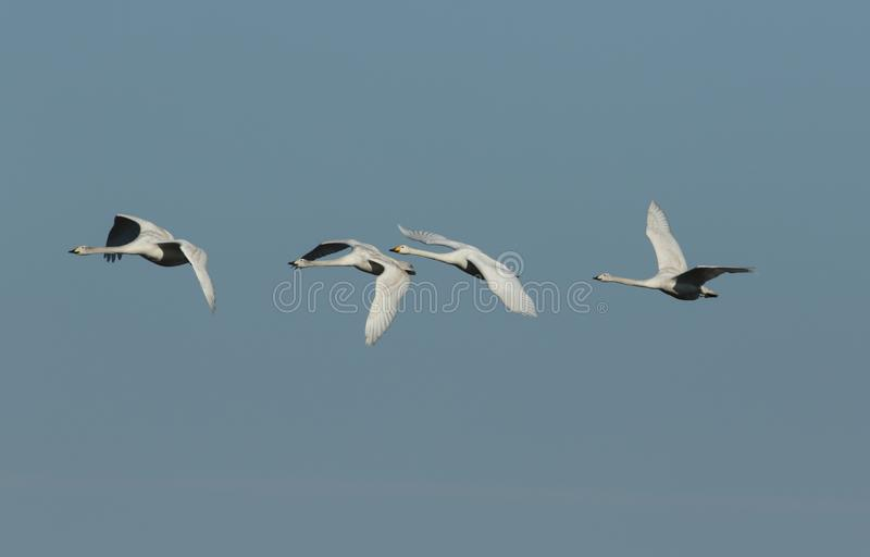 A flock of stunning Whooper Swan Cygnus cygnus flying in the blue sky. royalty free stock image