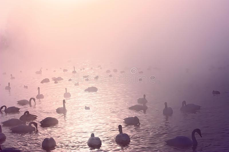Flock of whooper swans at the misty lake. Flock of whooper swans floating at the winter misty morning lake in Altai, Siberia, Russia royalty free stock photography