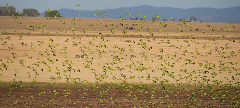Flock of wild Australian Budgerigars. Flock Of Australian Budgerigars looking for seed on a crop in Queensland Australia stock photo