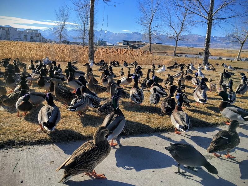 A flock of wild ducks by Daybreak lake in South Jordan Utah. Migratory birds on vacation being fed by locals. royalty free stock image
